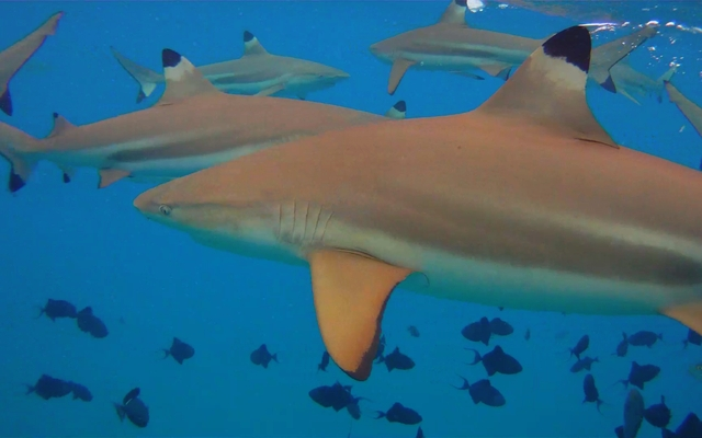 Blacktip reef sharks: Jon Rawlinson via Wikimedia Commons