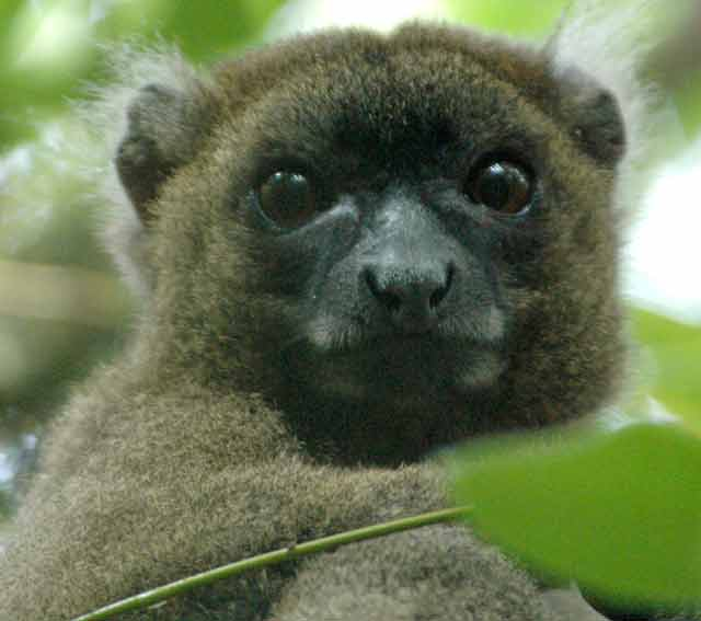 Weighing in at about five pounds, the greater bamboo lemur is the biggest of all the lemur species.  © Conservation International/photo by Russell A. Mittermeier