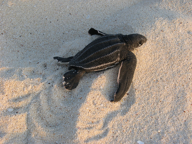 Leatherback sea turtle hatchling: Ken Clifton | algaedoc via Wikimedia Commons