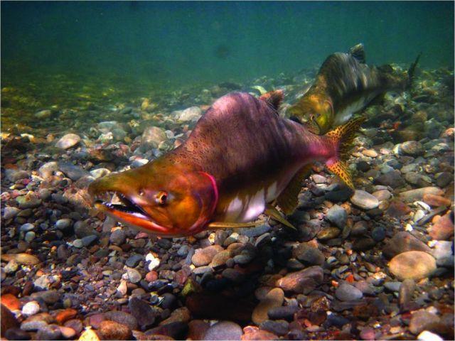 Pink salmon (Oncorhynchus gorbuscha): NOAA | Fisheries Service