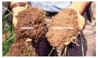 The organically managed soil is darker and  aggregates are more visible compared to the  conventio Photo and caption: Rodale Institute