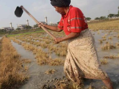 A rice farmer hoes her crop in front of the ExxonMobil facility in Lhoksukon, Aceh.  Emily Johnson